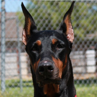 Pinscher Dam photo, dobermans, doberman pinschers, puppies for sale ...