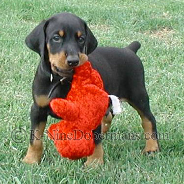 doberman-puppies-for-sale.jpg